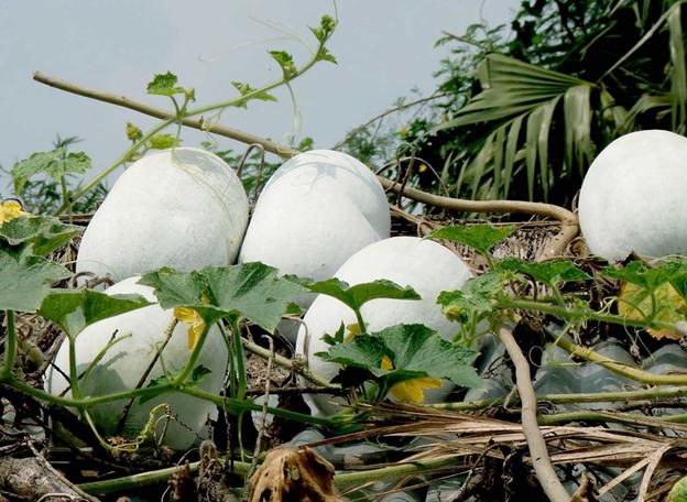 Ash Gourd Health Benefits