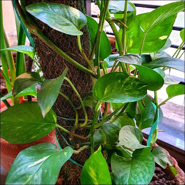 Money Plant, Epipremnum aureum